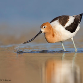 American Avocet Looking for Food by Tin Man (tinman)) on 500px.com