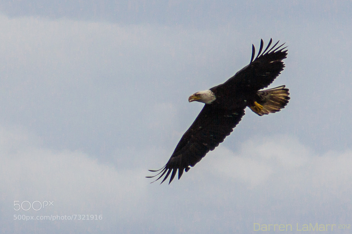 Photograph Bald Eagle by Darren LaMarr on 500px