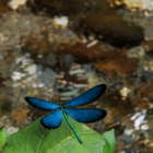 Постер, плакат: Damselfly at the Creek