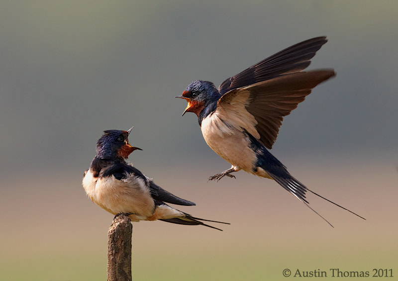 Photograph Swallows shouting   by Austin Thomas on 500px