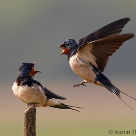 A pair of Swallows shouting at each other.