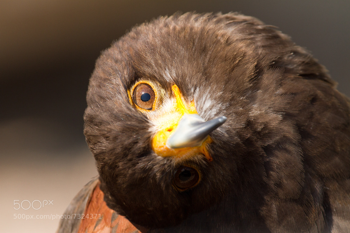 Photograph Circling head of Eagle by Benjamin Nocke on 500px