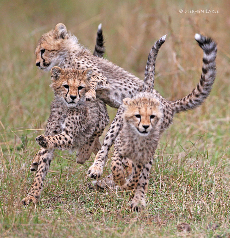 Photograph Cheetah run by Stephen Earle on 500px