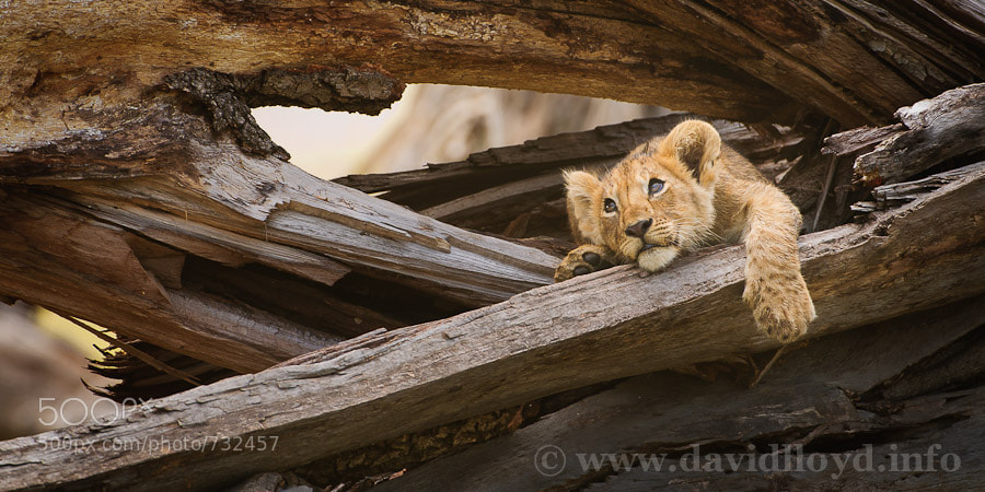 Photograph Lion Cub by David Lloyd on 500px
