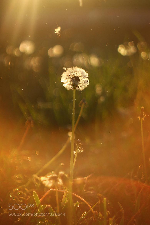 Photograph Dandelion by Ruslan Mingazirov on 500px