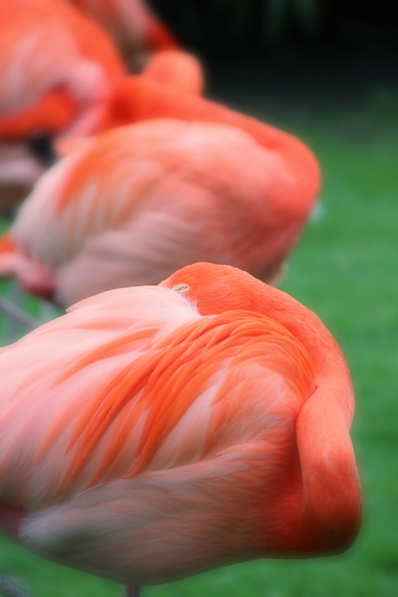Photograph Flamingos by steffen22 on 500px