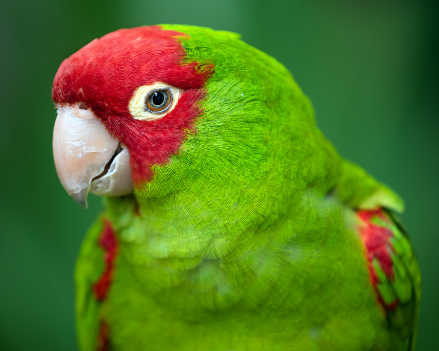 Portrait of red and green conure parrot by Robert Hainer on 500px.com