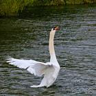 Beautiful Swan 1
