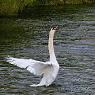 Beautiful Swan 1