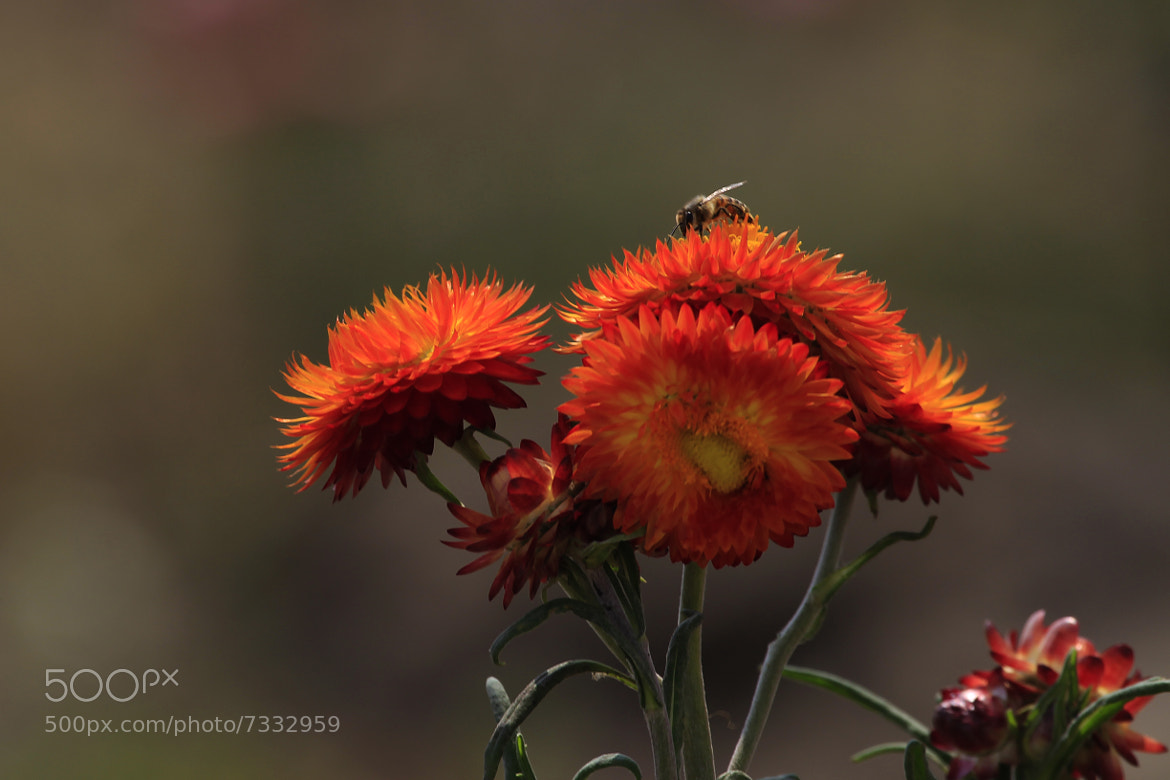 Photograph Bee and flowers by Cristobal Garciaferro Rubio on 500px