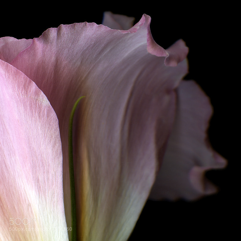 Photograph THE REGAL CURVES of A PINK LYSIANTHUS... by Magda Indigo on 500px
