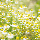 Постер, плакат: Field of chamomile