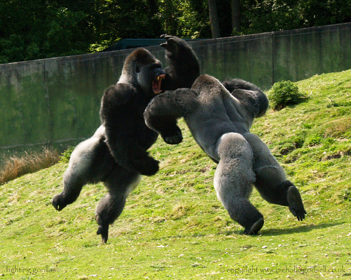 Photograph Fighting Gorillas by Nicholas Godsell on 500px
