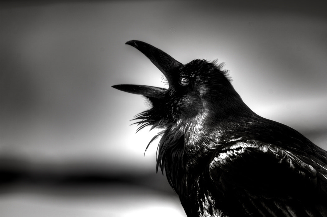 Photograph Raven Calling by Dana Prost on 500px