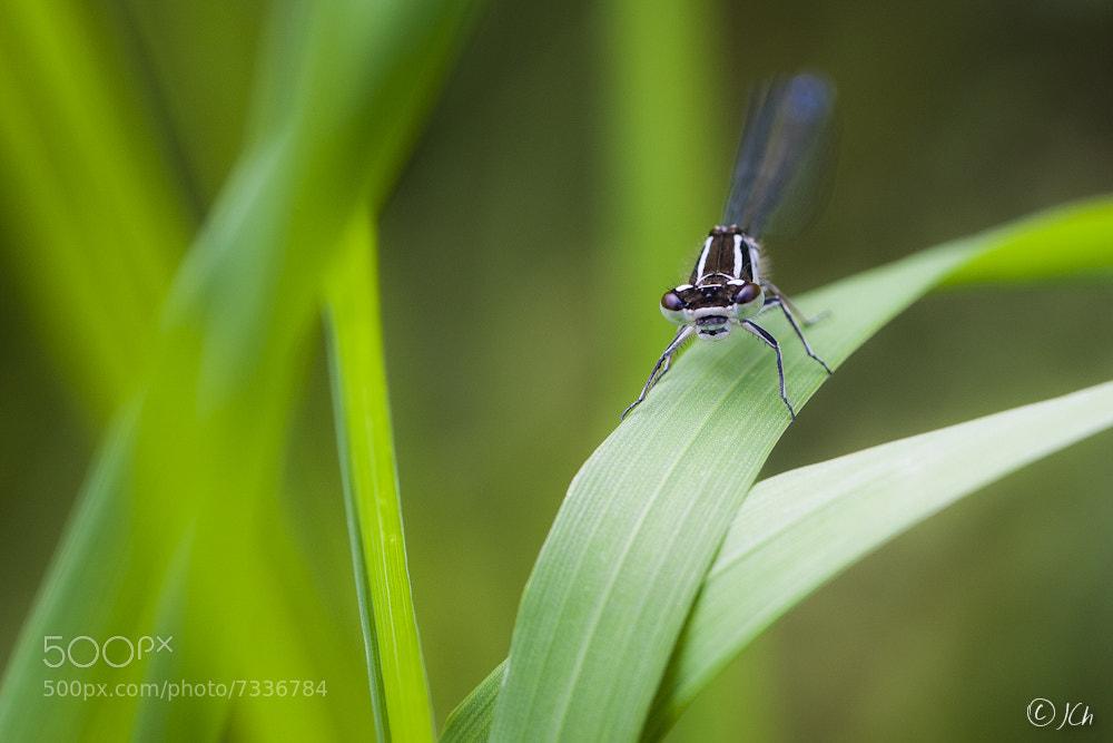 Photograph Dragonfly by Johan CHABBERT (JCh) on 500px