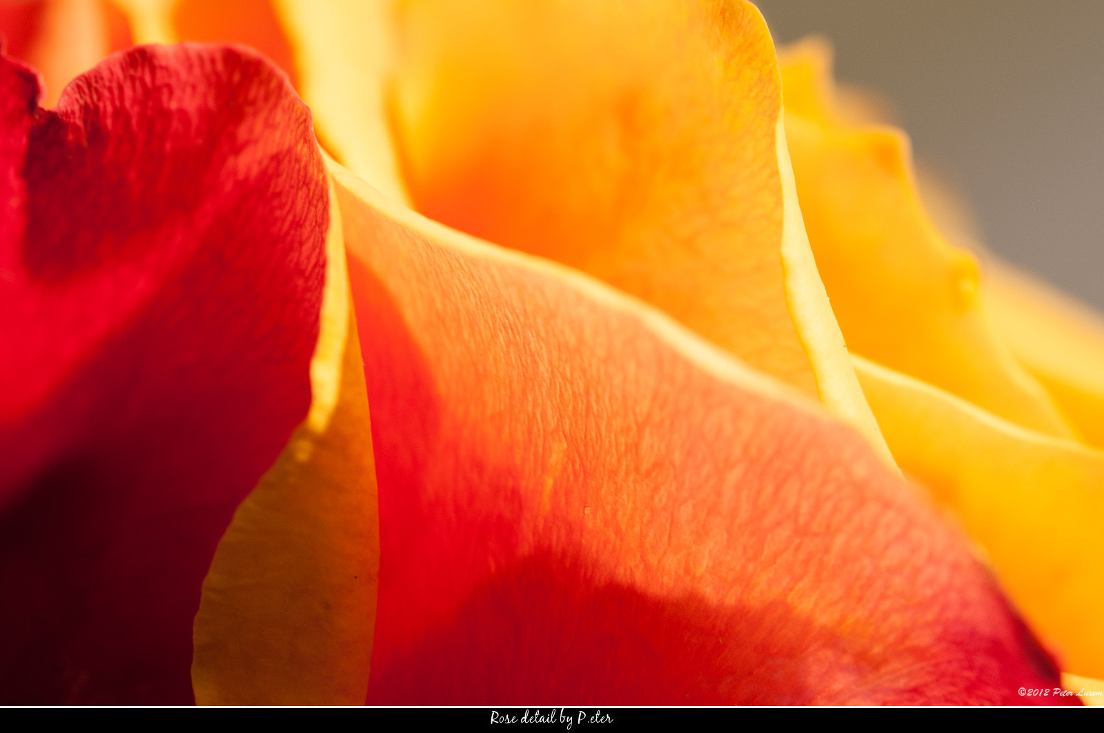 Photograph Rose detail by Peter Luxem on 500px