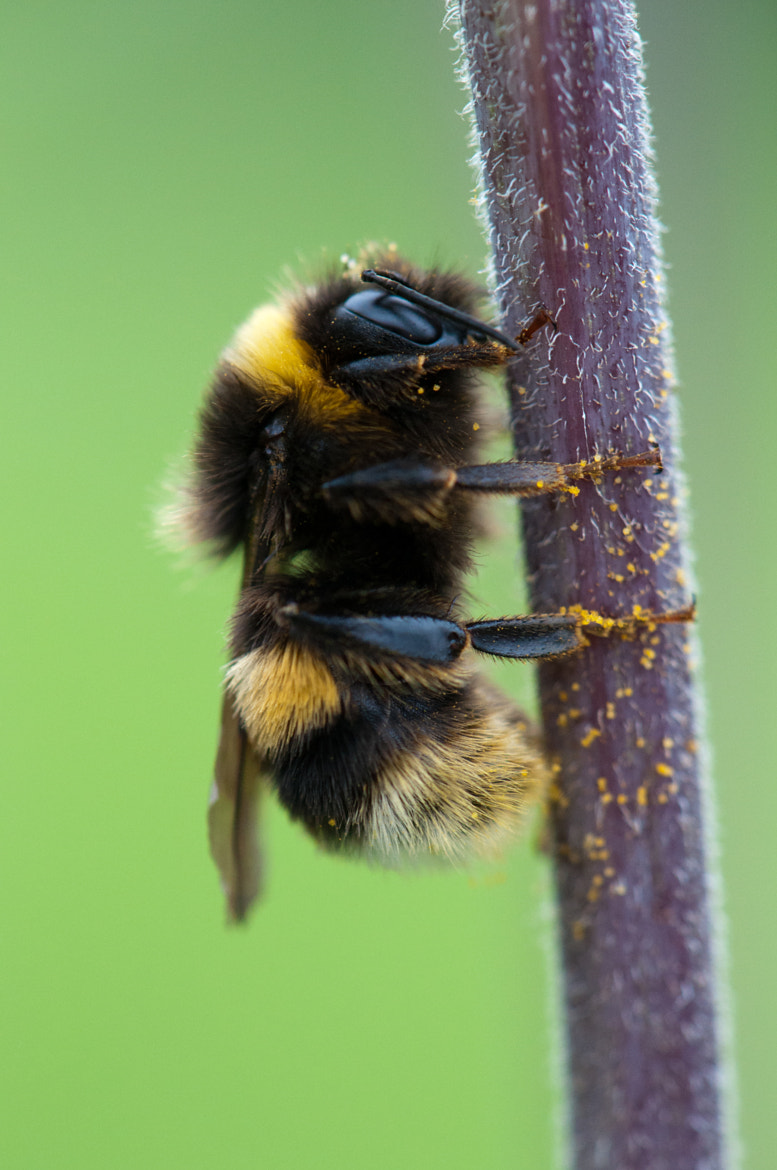 Photograph Bumblebee by Adam Honoré on 500px