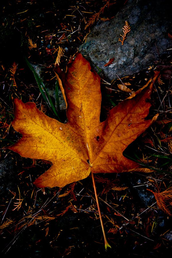 Photograph Maple by Philipp Wedel on 500px