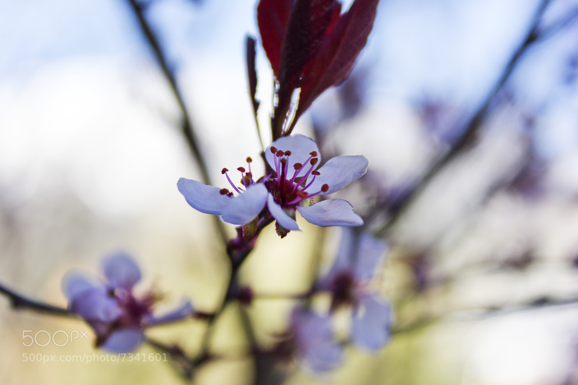 Photograph Blossom by Jacob Penderworth on 500px