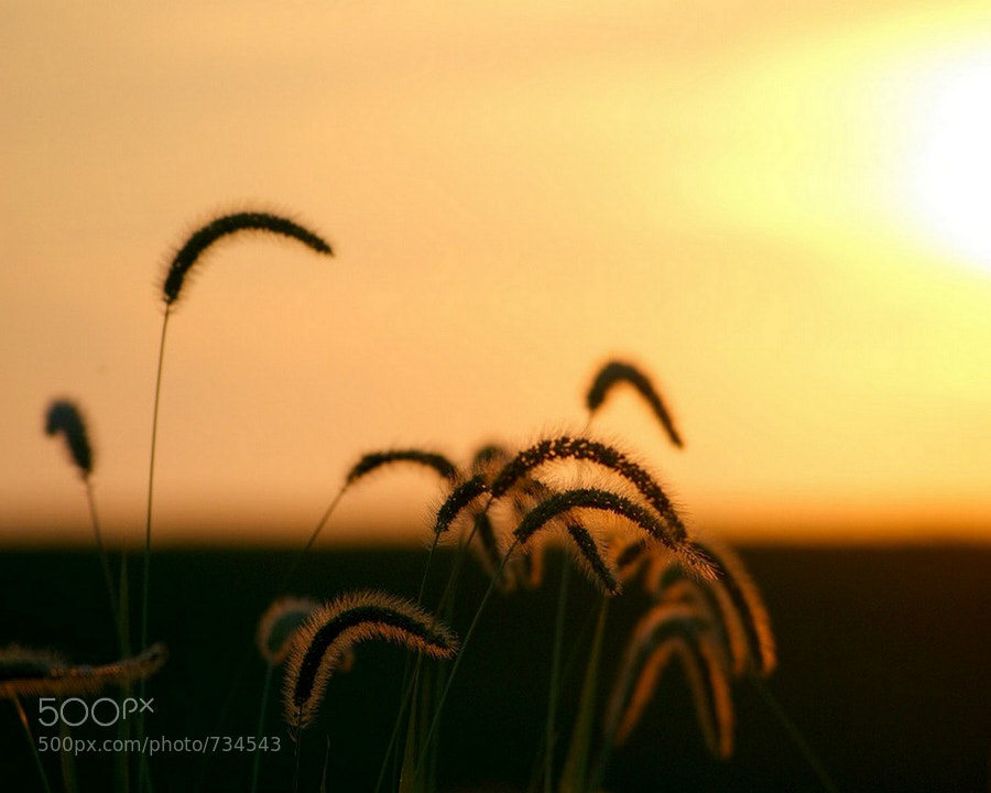 A tranquil fine art image of grasses bowing in front of the sunset.