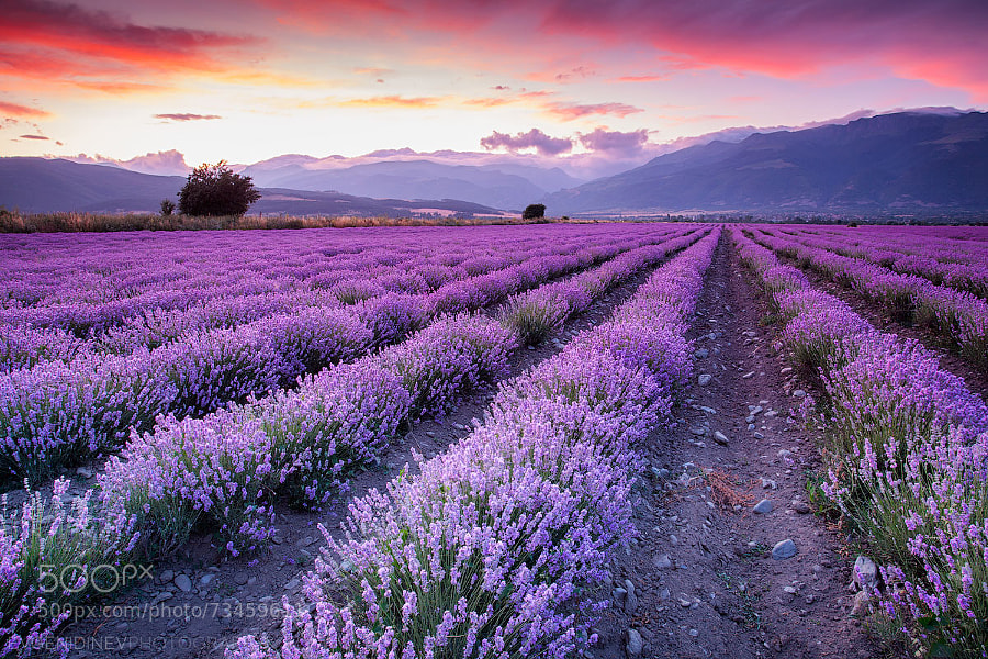 Photograph Violet Garden by Evgeni Dinev on 500px