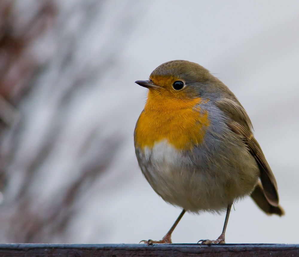 Photograph Robin by Geir  Jensen on 500px