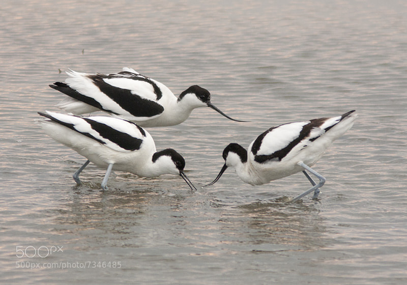 Photograph Avocet by Robert Westerhof on 500px