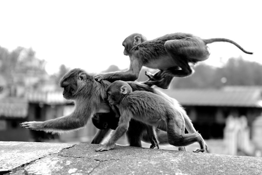 Monkeys in Pashupatinath