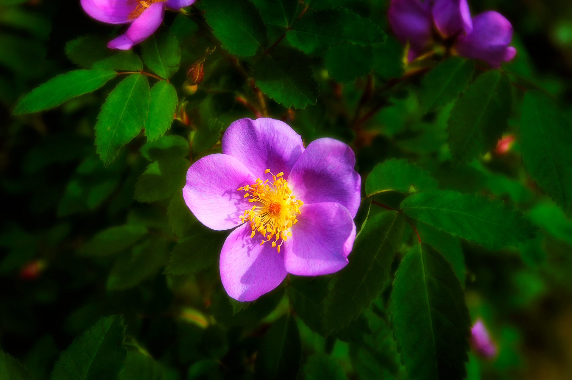 Photograph Wild Rose by Carla Stringari Pudler on 500px