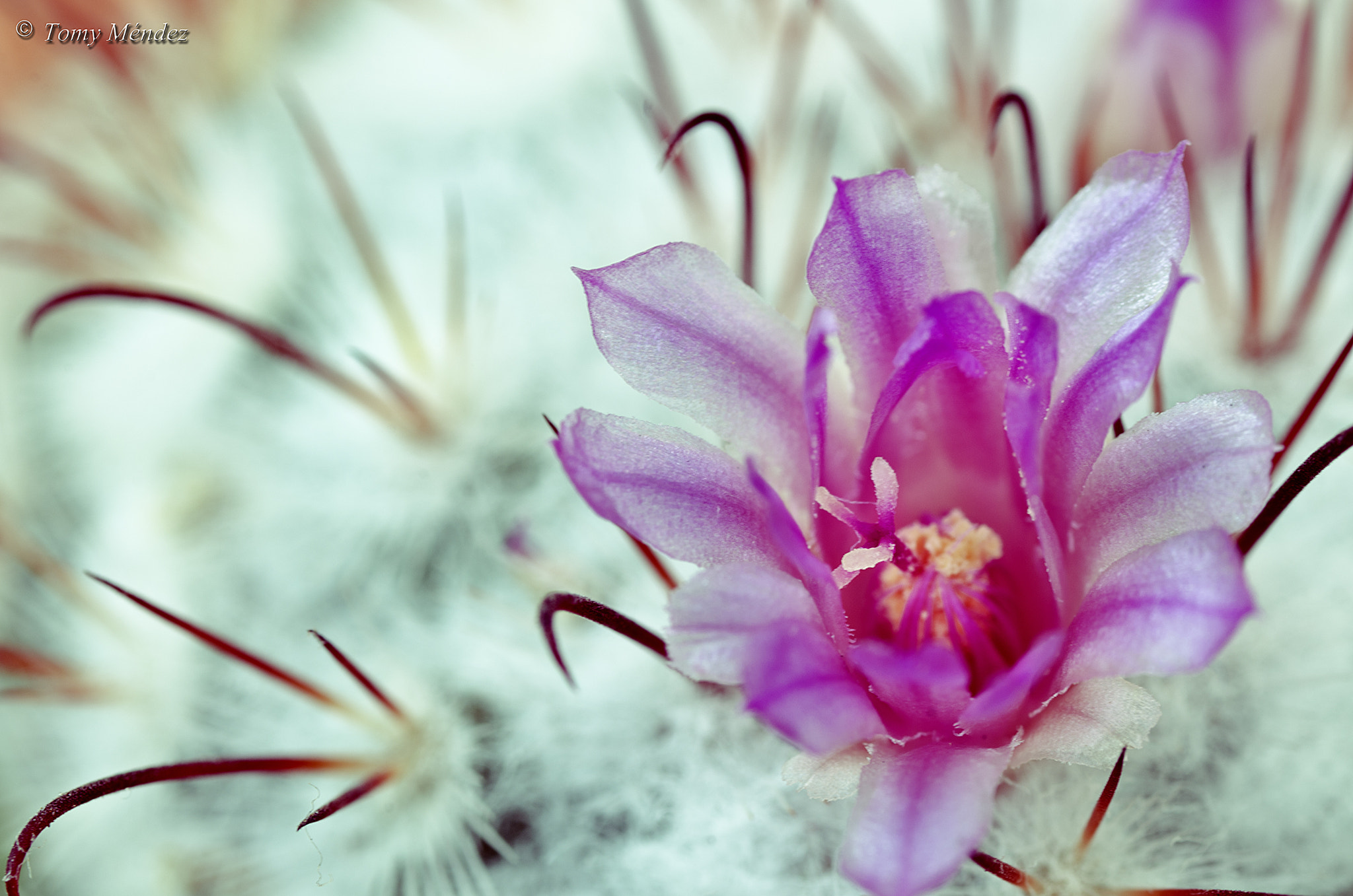 Photograph Flor Cactus 004 by Tomy Méndez on 500px
