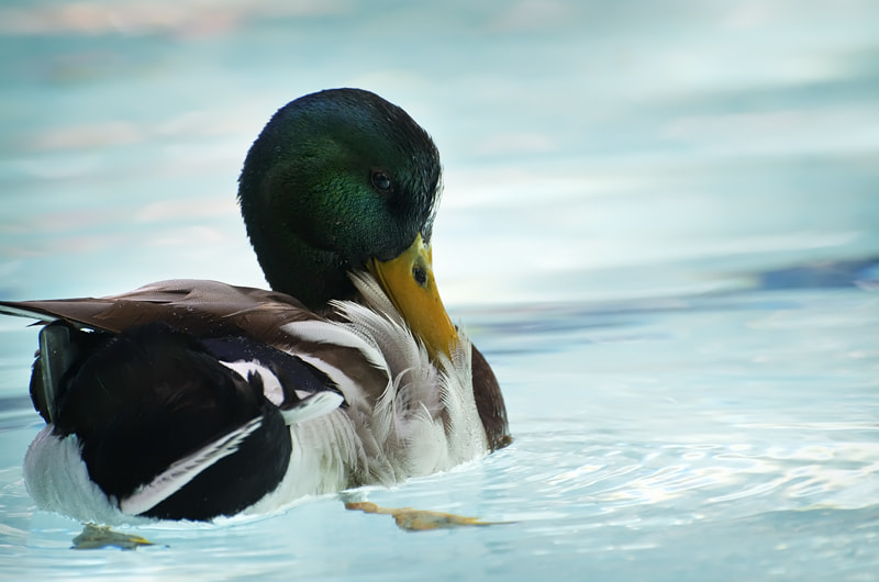 Photograph Mallard Drake by Denise Soden on 500px