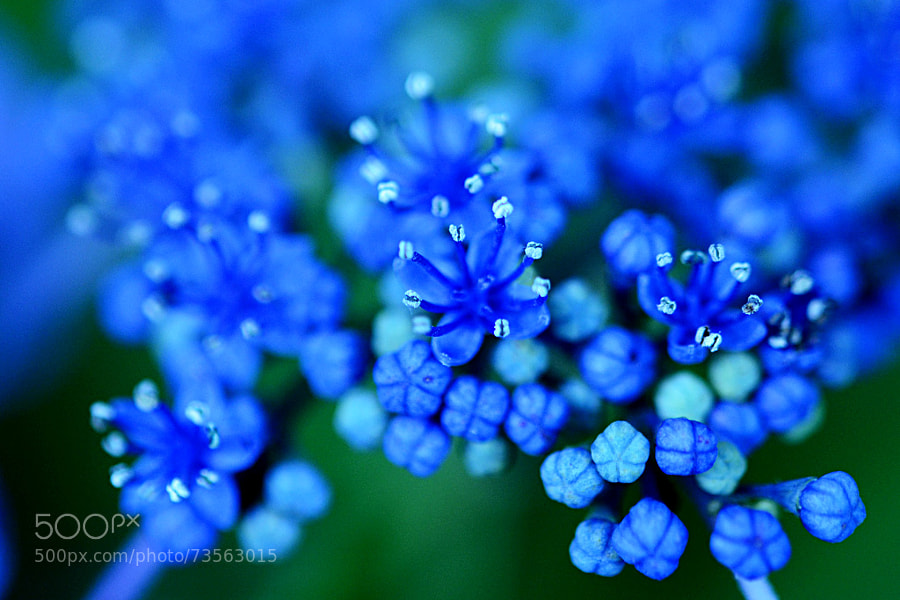 Photograph Tiny Blue Flowers by yoichi  on 500px