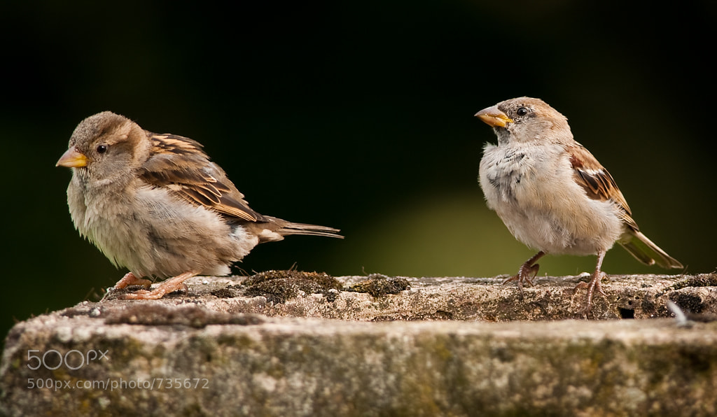Photograph House Sparrows by Hogan  on 500px