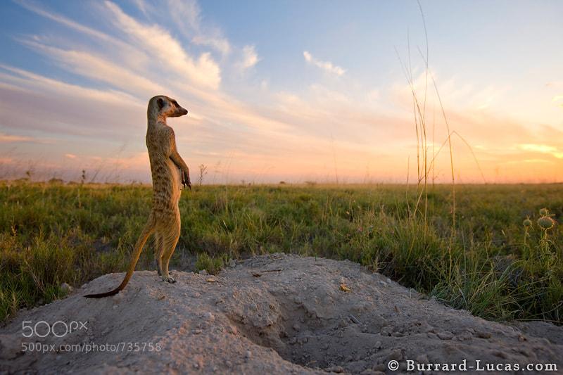 """A meerkat scans the desert for danger before going into its den.  - More <a href=""""http://www.burrard-lucas.com/gallery/wildlife/africa/safari/meerkats.html"""">meerkat photos</a>."""