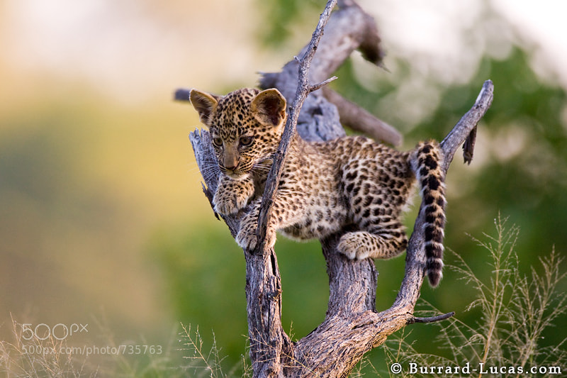 "A leopard cub in a fallen tree, Botswana  - More <a href=""http://www.burrard-lucas.com/gallery/wildlife/africa/safari/leopards.html"">leopard photos</a>"