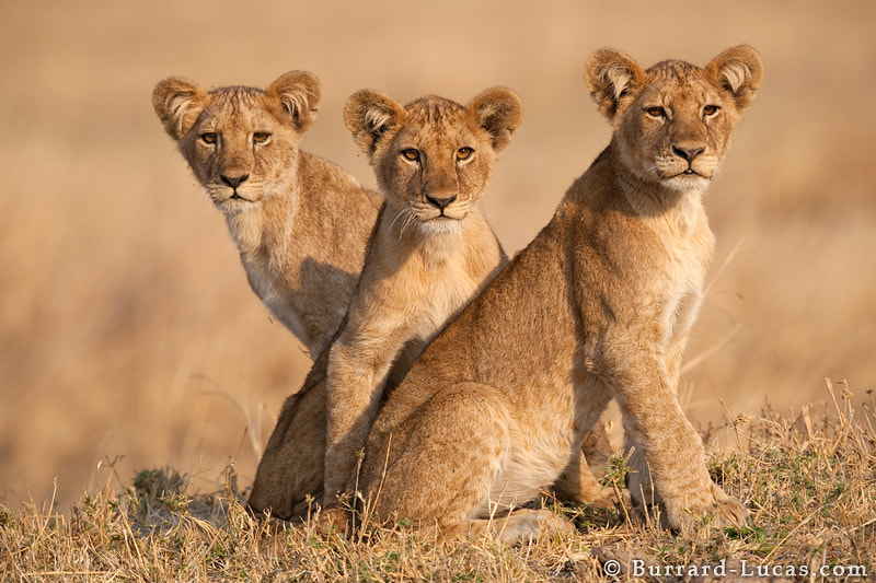 Three beautiful lion cubs waiting for the rest of the pride to return from hunting. Katavi National Park, Tanzania.