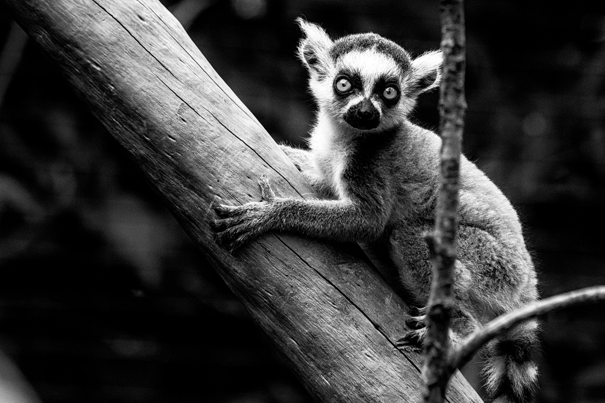 Photograph Baby Lemur by Michele Berlingeri on 500px