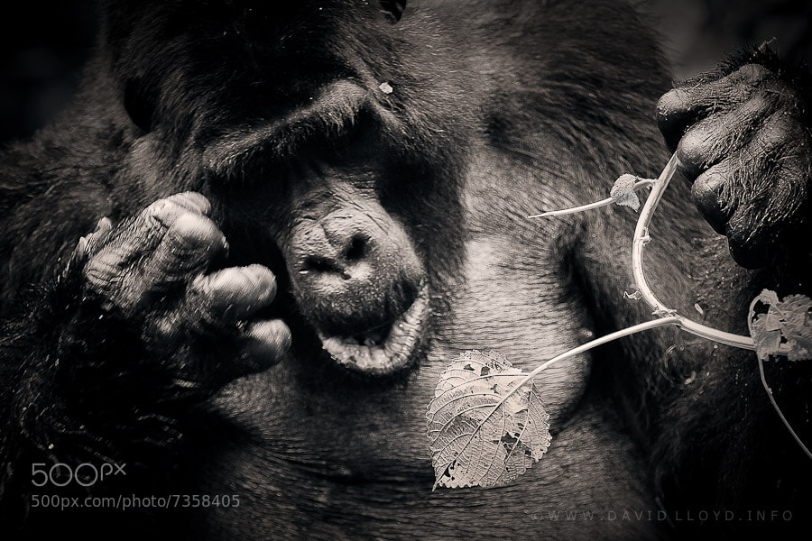 Photograph Nkuringo by David Lloyd on 500px