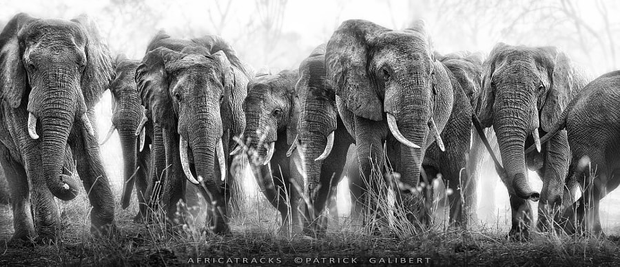 Photograph Elephants in the bush. by Patrick Galibert on 500px
