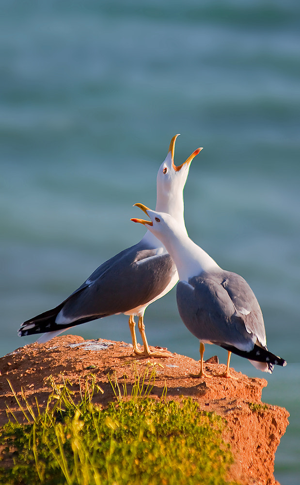 Photograph Song of the gulls by Jorge Fonseca on 500px