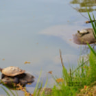 Постер, плакат: Turtles relaxing