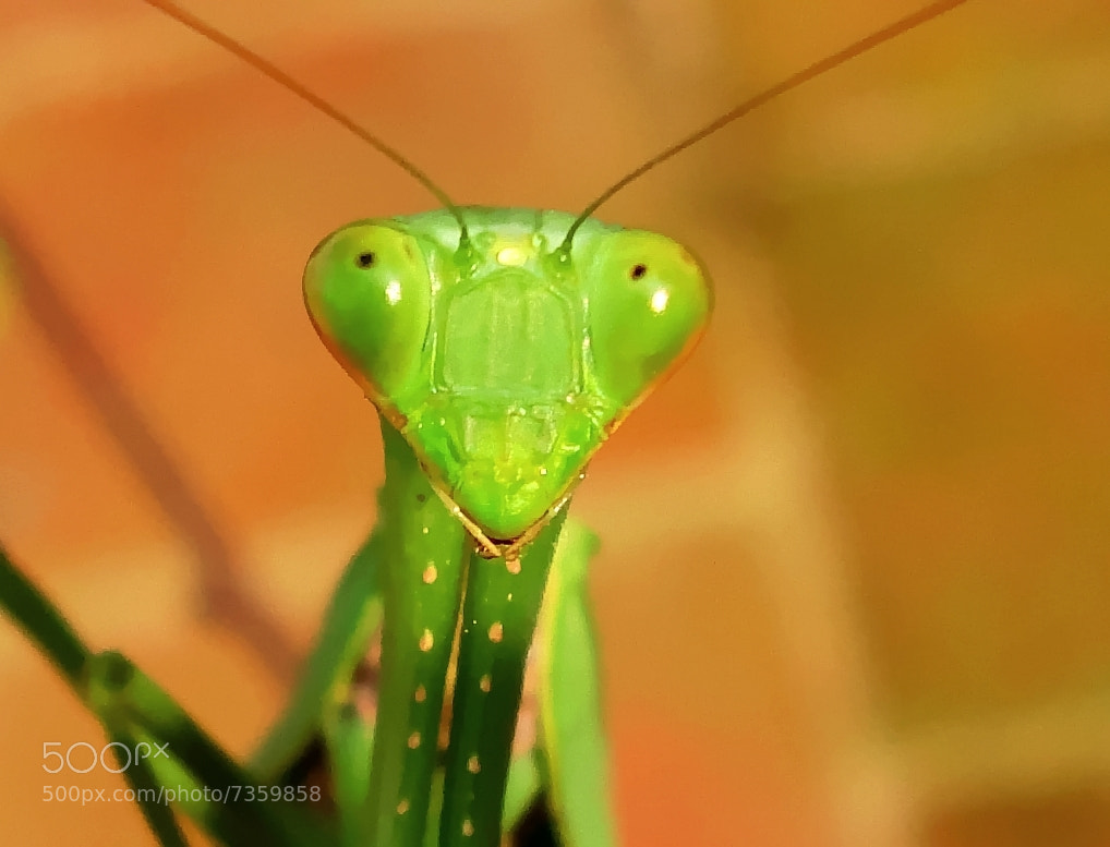 Photograph Praying Mantis by Premkumar Antony on 500px