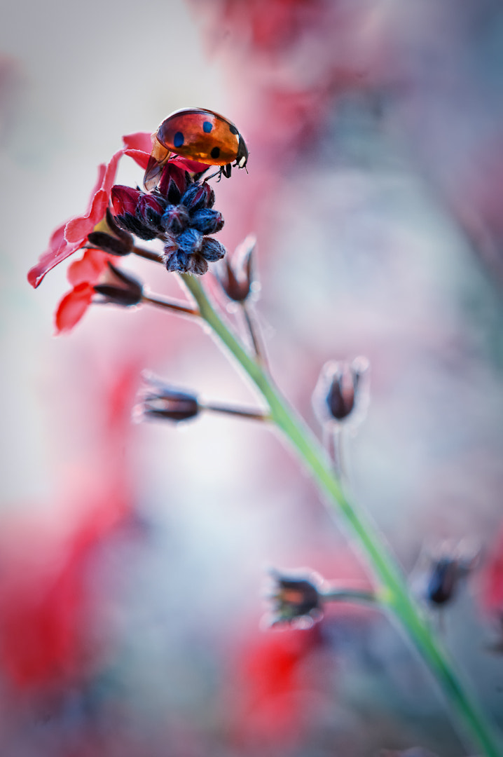Photograph La coccinelle de Pygmalion * by BLOAS Meven on 500px