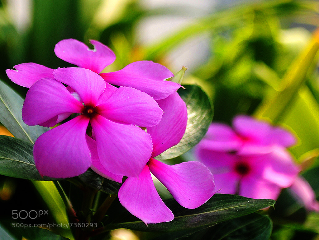 Photograph For pink lovers  :))) by Motiur Rahman on 500px