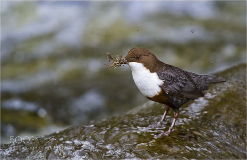 Photograph River Taff Dipper by allan squires on 500px
