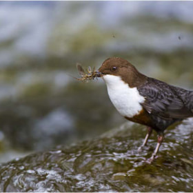 River Taff Dipper by allan squires (digitall)) on 500px.com