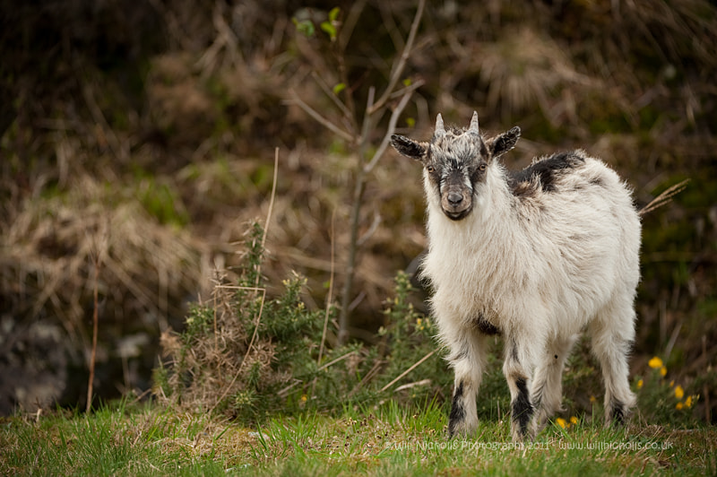 Photograph Feral Goat Kid by Will Nicholls on 500px
