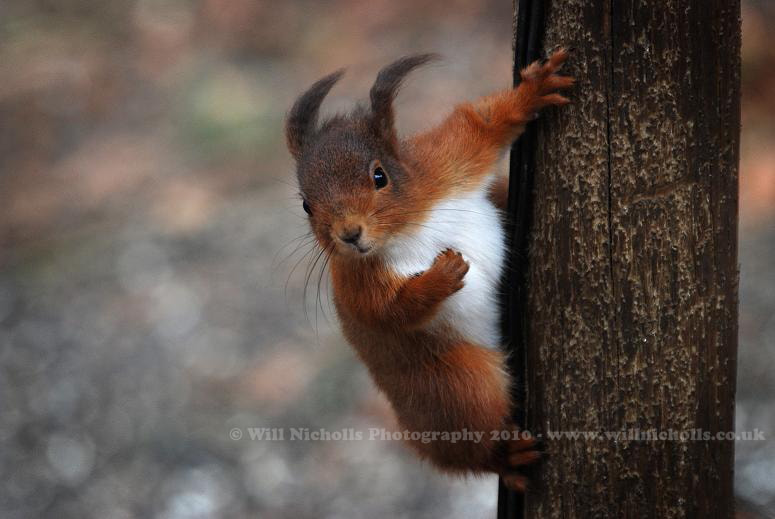 Photograph Red Squirrel by Will Nicholls on 500px