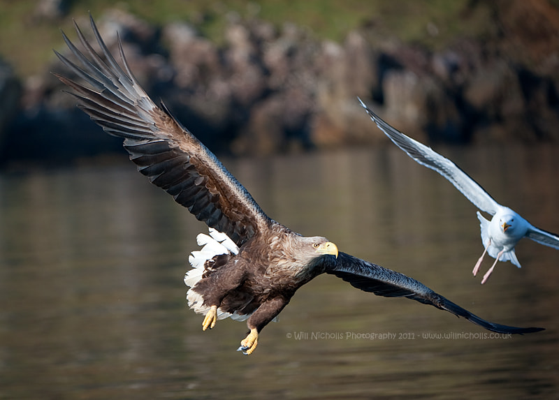 Photograph White-tailed Eagle by Will Nicholls on 500px