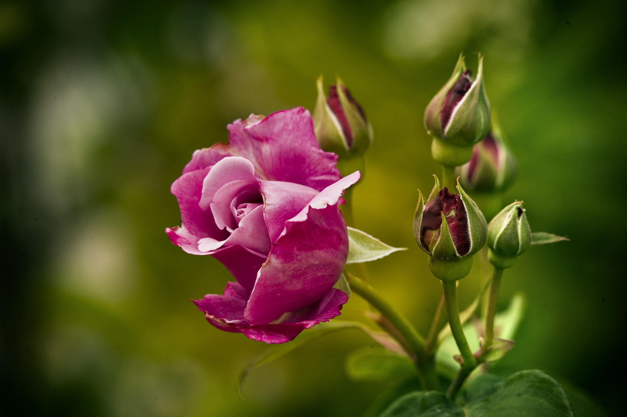 Photograph Rosa del rosal by Miguel Nieto Galisteo on 500px